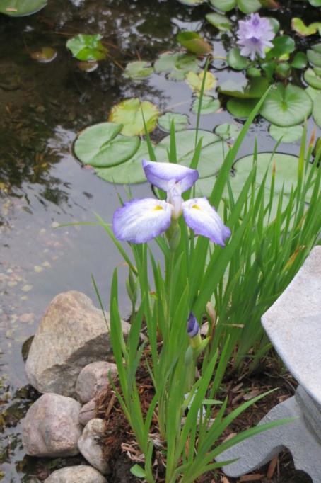 Au jardin de MarieM saison 2020 Iris_e10