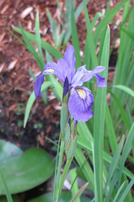 Au jardin de MarieM saison 2020 Iris_s10