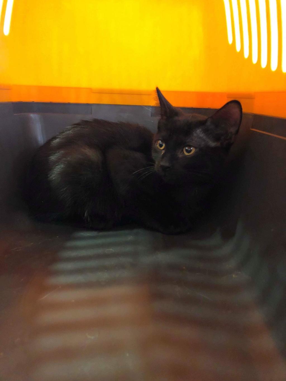 Oxana, chatonne noire, née le 03 mai 2018 39060310