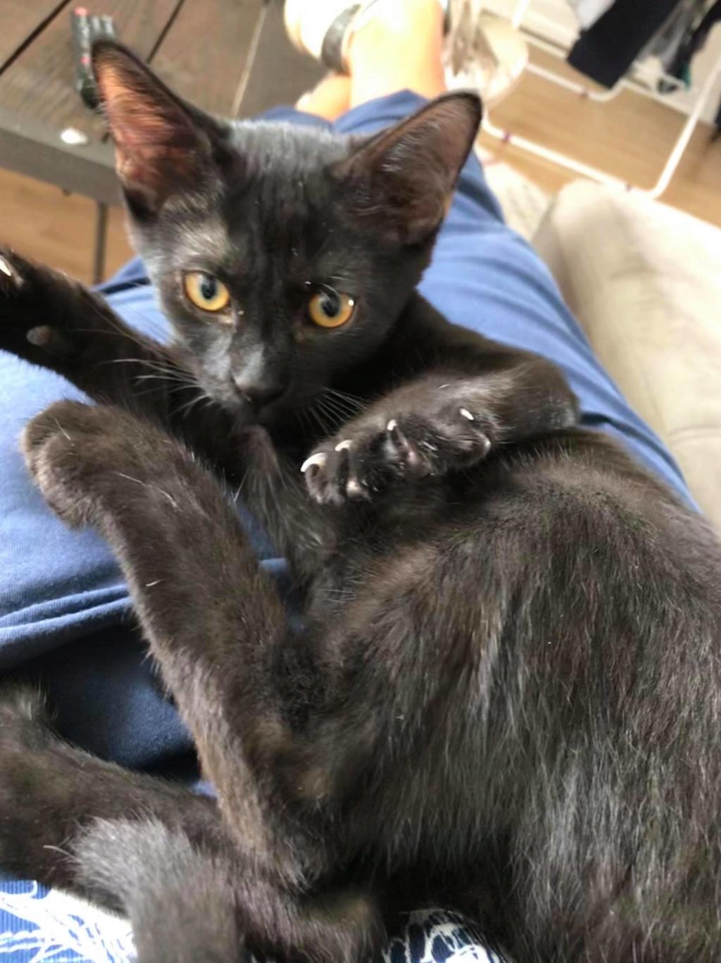 Oxana, chatonne noire, née le 03 mai 2018 39134010