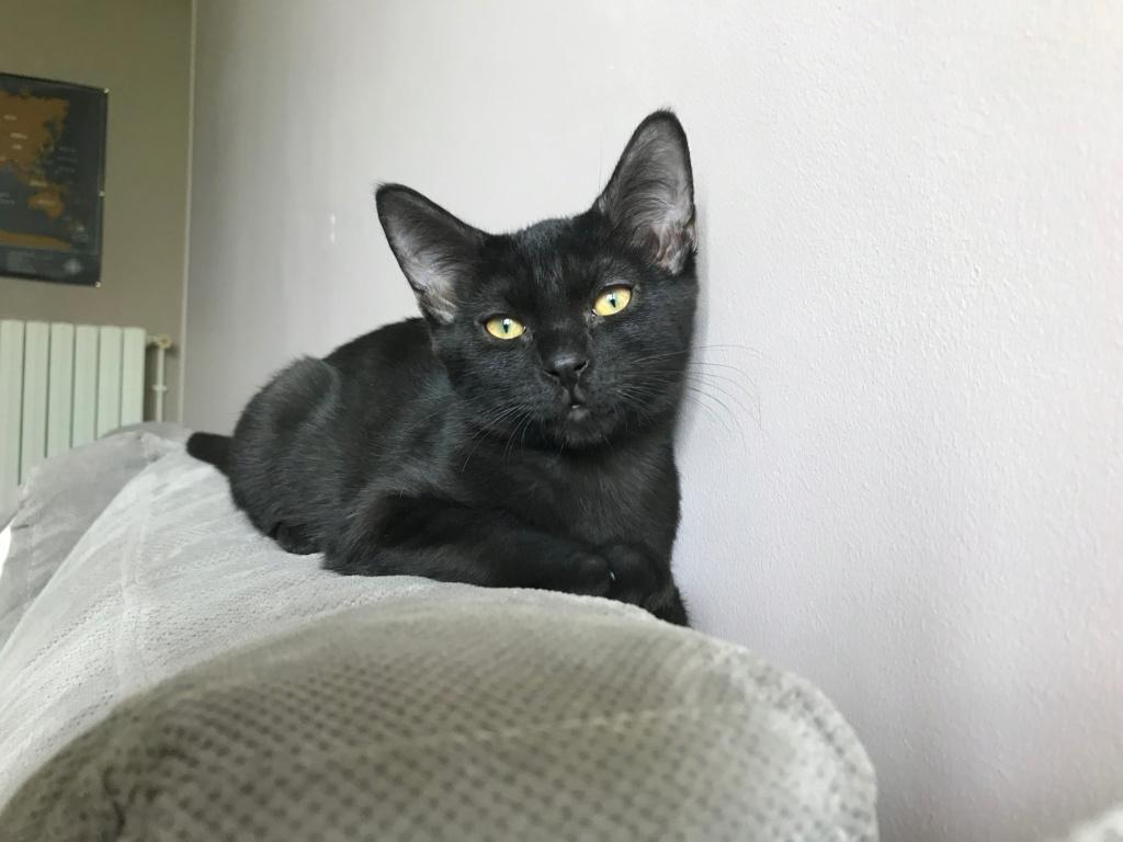 Oxana, chatonne noire, née le 03 mai 2018 39390510