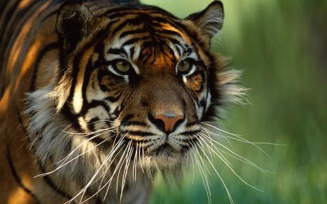 Welcome to Indonesia! Tiger_10