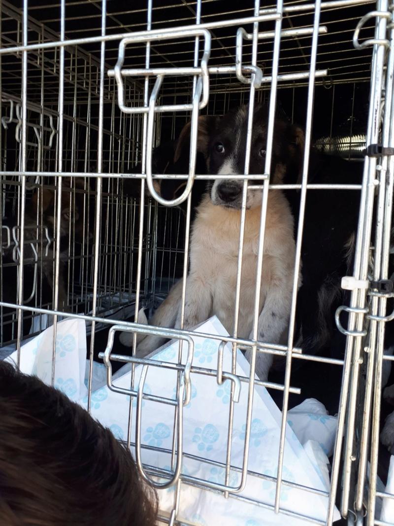 JUNIOR - Magnifique chiot mâle de taille moyenne à l'âge adulte - né en décembre 2018 - adopté par Maia (Belgique)  - Page 2 59800110