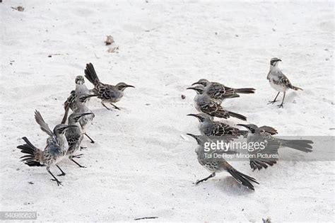 Curiosidade acerca do Mockingbird Mimus macdonaldi Iu10