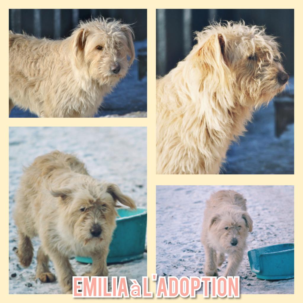 EMILIA - x griffon 4 ans (3 ans de refuge)- Asso Remember Me (Roumanie) Incoll68
