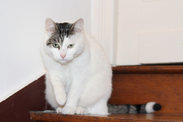 Mellie, femelle blanche grise tabby, chat européen née en juin 2016 Img_6915