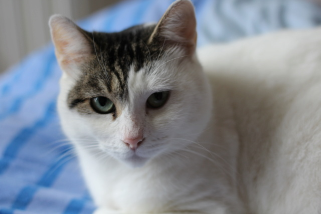 Mellie, femelle blanche grise tabby, chat européen née en juin 2016 Img_6917