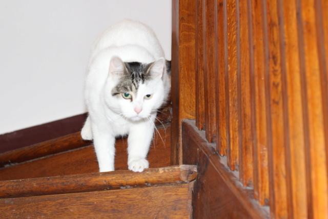 Mellie, femelle blanche grise tabby, chat européen née en juin 2016 Img_6918