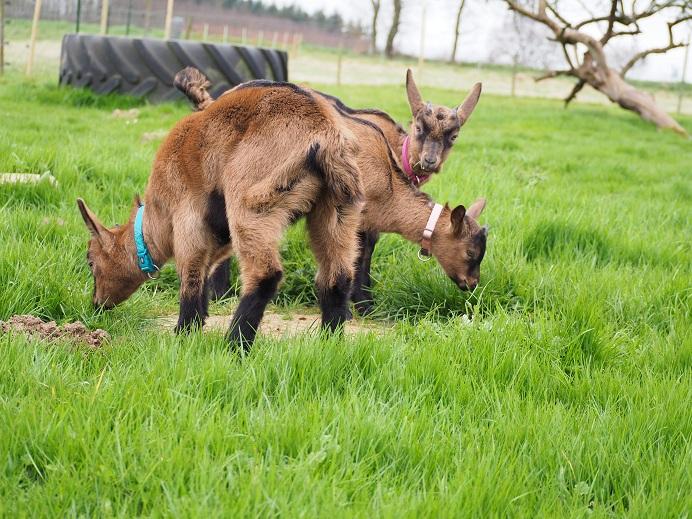 HARMONIE,  HIVETT (ex HIVER) & LUCIOLE - Chèvres réformées d'élévage 3_peti10