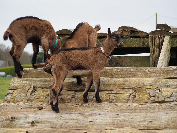 HARMONIE,  HIVETT (ex HIVER) & LUCIOLE - Chèvres réformées d'élévage 3_peti12