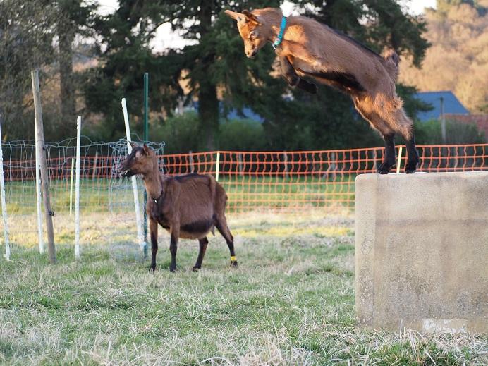 HARMONIE,  HIVETT (ex HIVER) & LUCIOLE - Chèvres réformées d'élévage August11