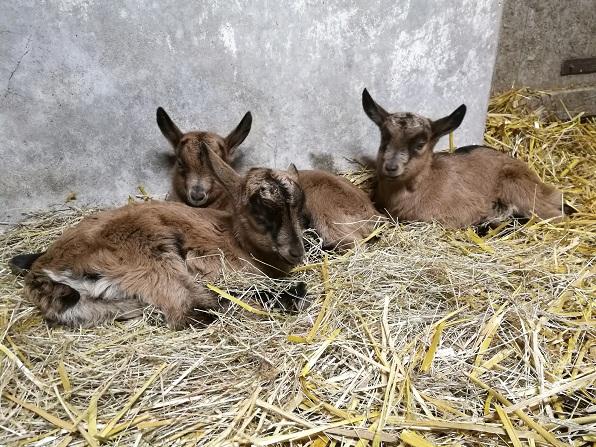 HARMONIE,  HIVETT (ex HIVER) & LUCIOLE - Chèvres réformées d'élévage Bb_v210