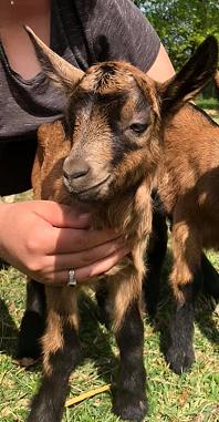 FLAPPY - Fils de Laguiole (chèvre réformée d'élevage) Flappy10