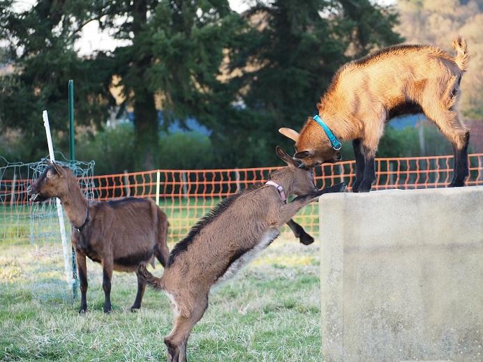 HARMONIE,  HIVETT (ex HIVER) & LUCIOLE - Chèvres réformées d'élévage Franci10