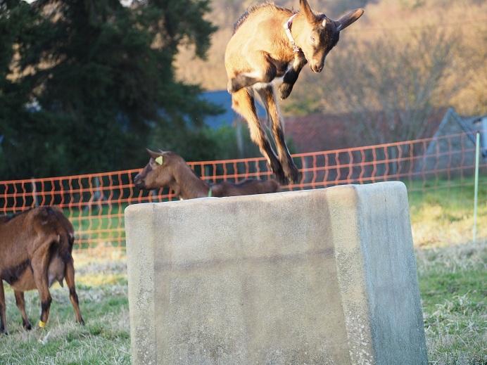 HARMONIE,  HIVETT (ex HIVER) & LUCIOLE - Chèvres réformées d'élévage Franci11