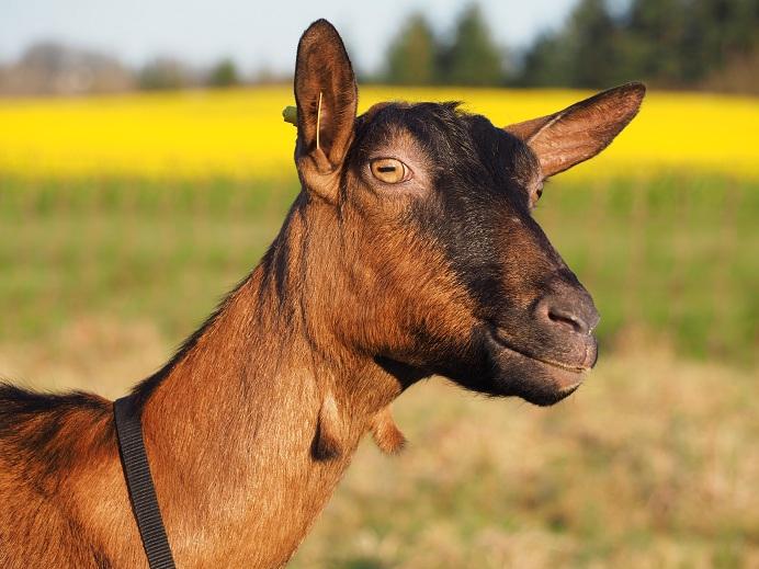HARMONIE,  HIVETT (ex HIVER) & LUCIOLE - Chèvres réformées d'élévage Harmon11
