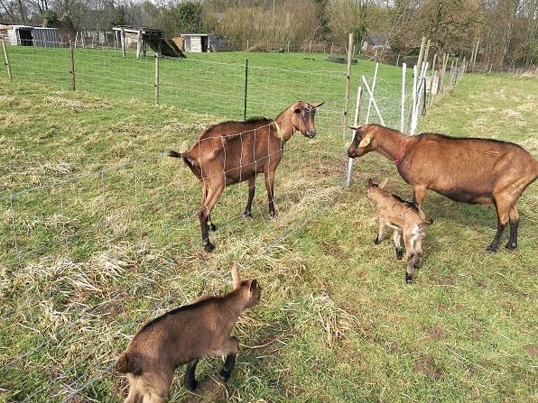 HARMONIE,  HIVETT (ex HIVER) & LUCIOLE - Chèvres réformées d'élévage Hivett10