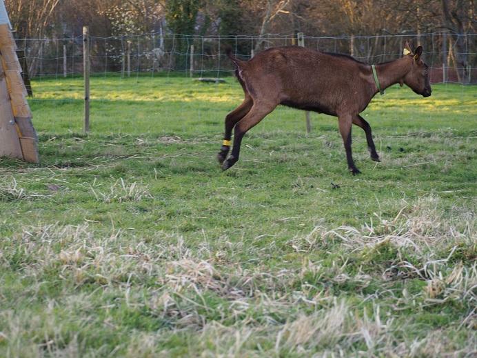 HARMONIE,  HIVETT (ex HIVER) & LUCIOLE - Chèvres réformées d'élévage Hivett12