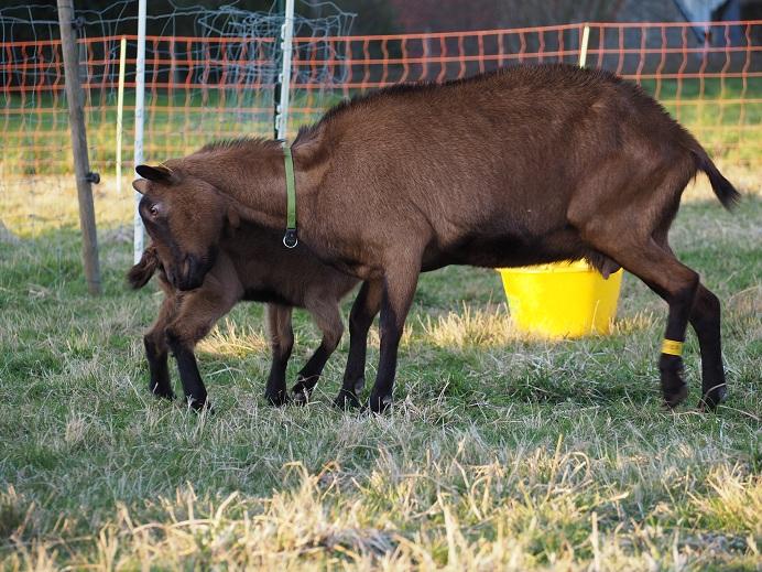 HARMONIE,  HIVETT (ex HIVER) & LUCIOLE - Chèvres réformées d'élévage Hivett14