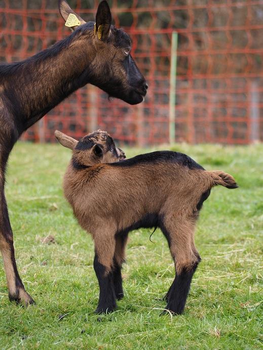 INDIENNE - Chèvre réformée d'élevage Indien19