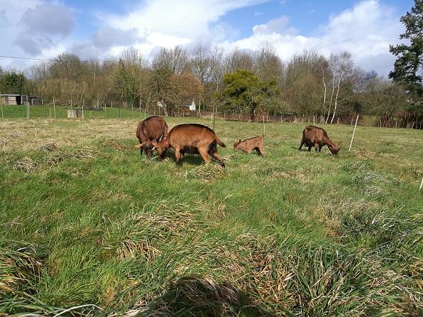 HARMONIE,  HIVETT (ex HIVER) & LUCIOLE - Chèvres réformées d'élévage Intzog10