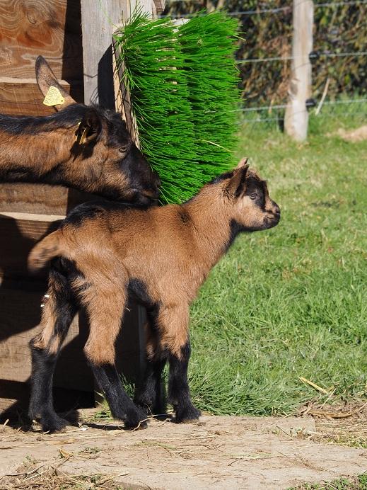 VALENTIN - Fils d'INDIENNE (réformée d'élevage) P2150512