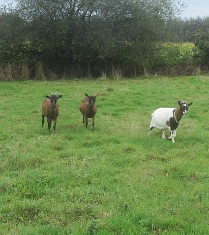 INNOCENTE & PRUNELLE - Chèvres alpines Prunel10