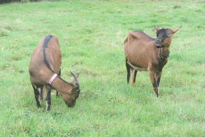 INNOCENTE &  sa fille PRUNELLE - Chèvres alpines Prunel12