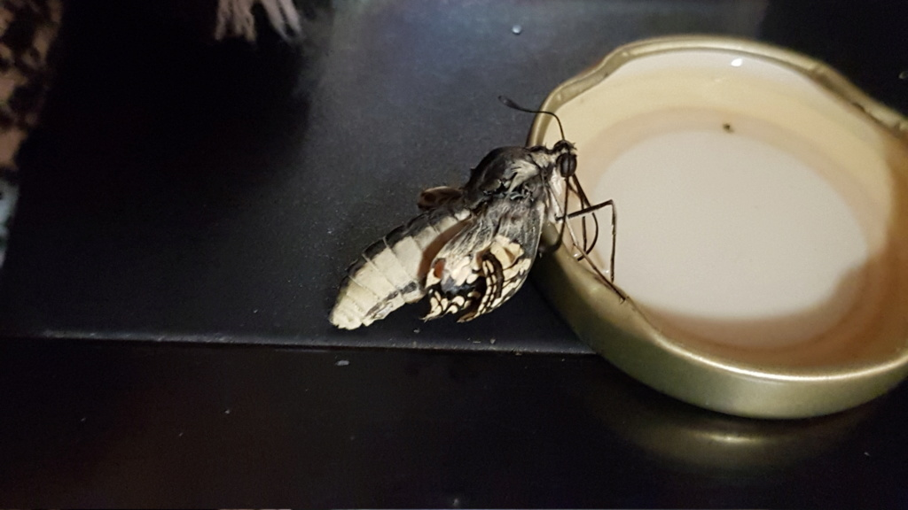 Accident chrysalide Machaon. 20190832
