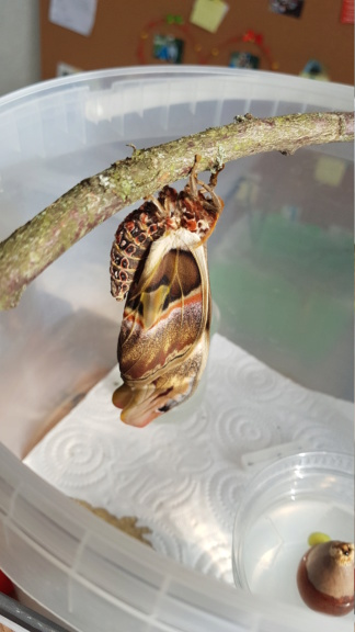 attacus atlas 20200311