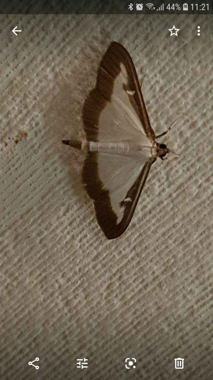 Mignon papillon blanc. [Cydalima perspectalis] Screen11