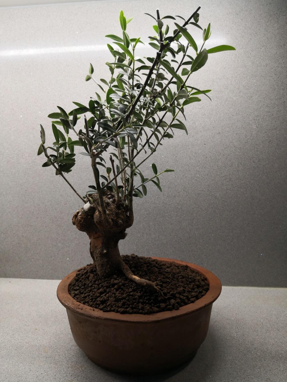 Olivo recien recuperado  Img_2028
