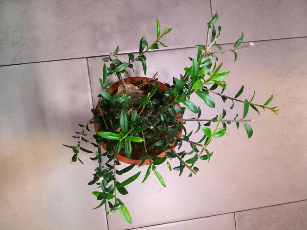 Olivo recien recuperado  Img_2030