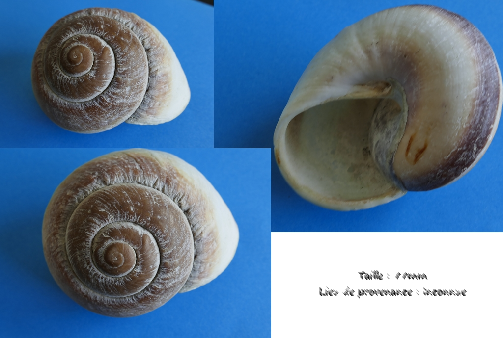 Coquille inconnue Coquil10