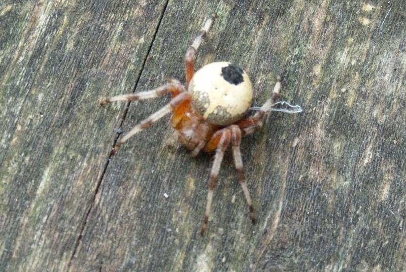 Id araignée P1090910