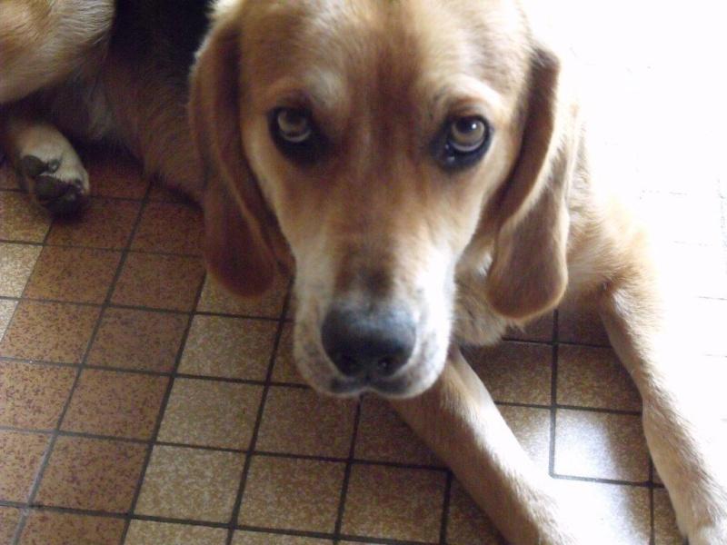 EDOUARD, croisé beagle mâle, 9 mois (44) 00710