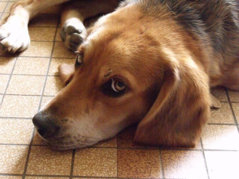 EDOUARD, croisé beagle mâle, 9 mois (44) 00810