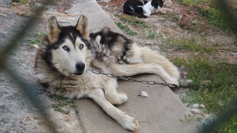 ALASKA (ex)LOUIS husky a l'attache depuis des années (m) 8 ans ref/79DECEDE     Argele10