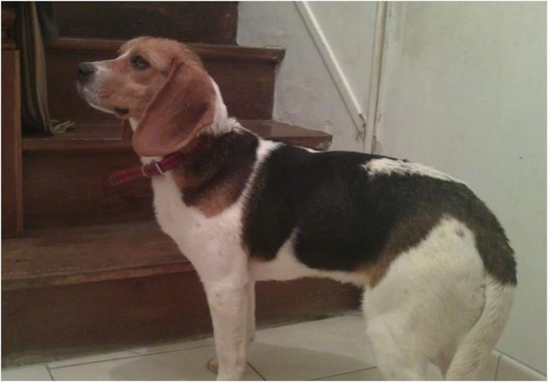 CASSIE, beagle femelle, 2 ans (79) - Page 2 Cassie11