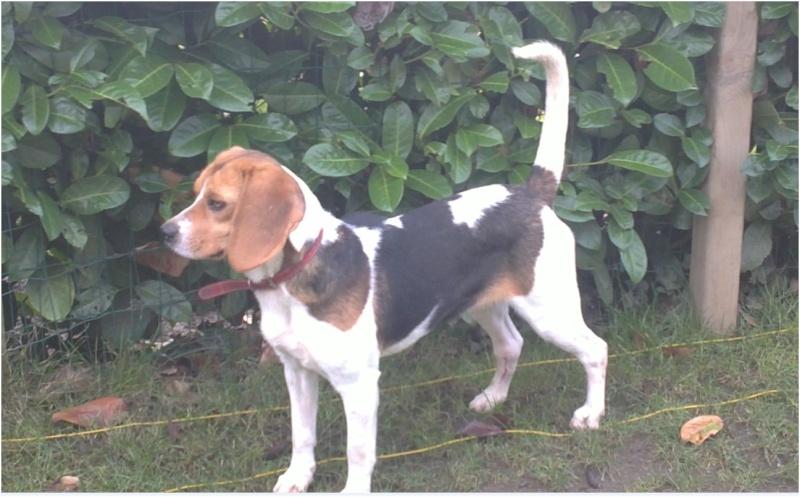 CASSIE, beagle femelle, 2 ans (79) - Page 2 Cassie12
