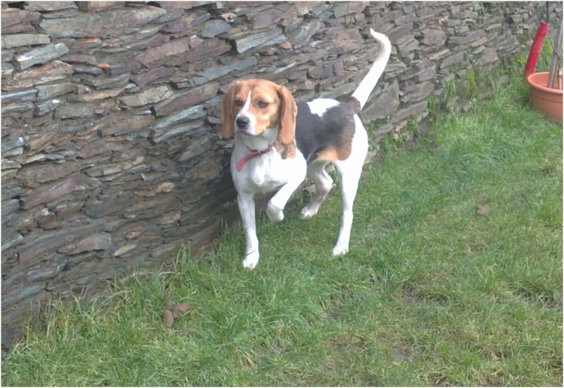 CASSIE, beagle femelle, 2 ans (79) - Page 2 Cassie13