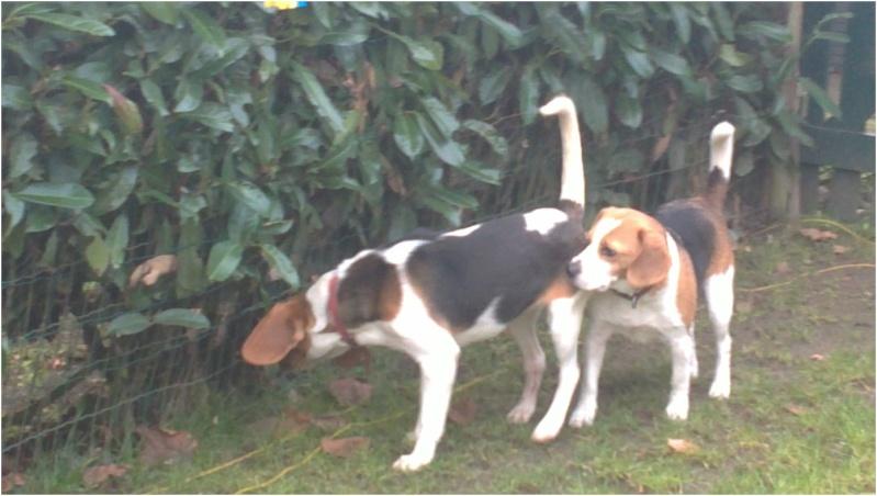 CASSIE, beagle femelle, 2 ans (79) - Page 2 Cassie14