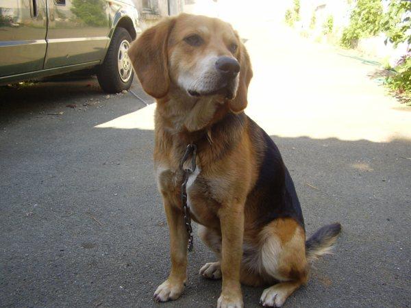 EDOUARD, croisé beagle mâle, 9 mois (44) Pc010010