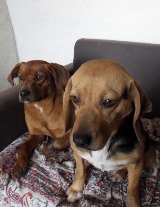 VENISE, beagle femelle, 7 ans (44) Sdc10110