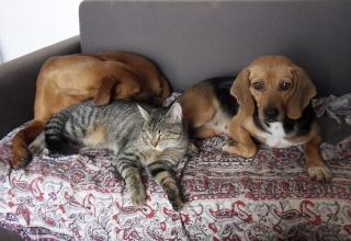 VENISE, beagle femelle, 7 ans (44) Sdc10111