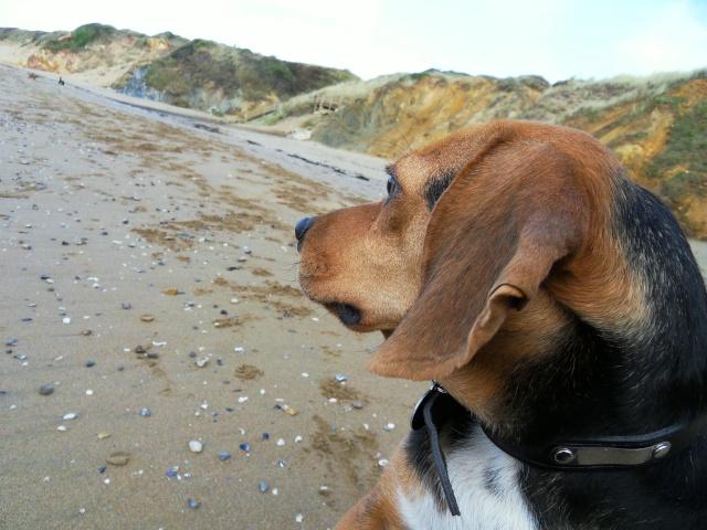 VENISE, beagle femelle, 7 ans (44) Sdc10212