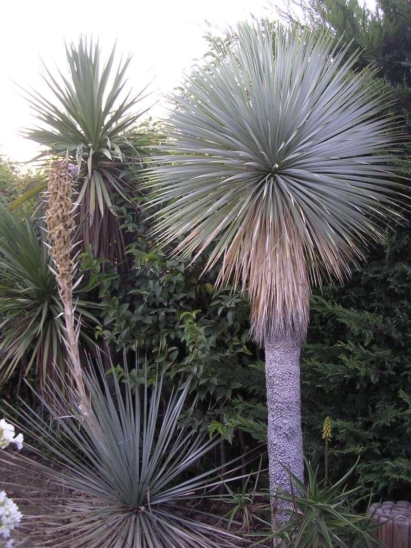 Espèces de yucca que vous cultivez Dscn7240