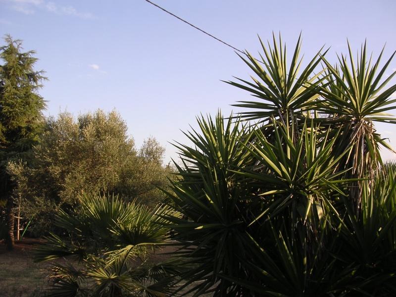 Espèces de yucca que vous cultivez Dscn7241
