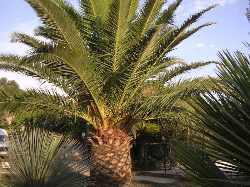 Mes palmiers Dscn7244