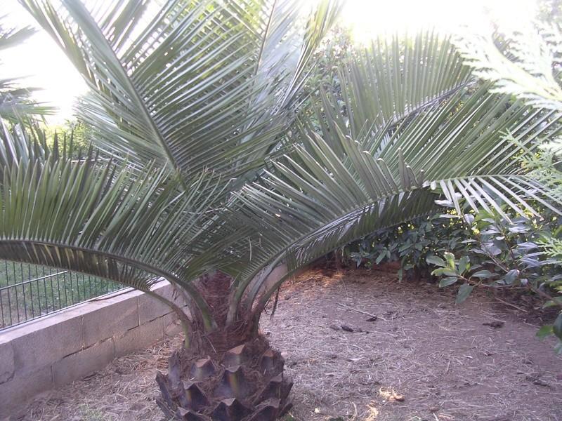 Mes palmiers Dscn7246